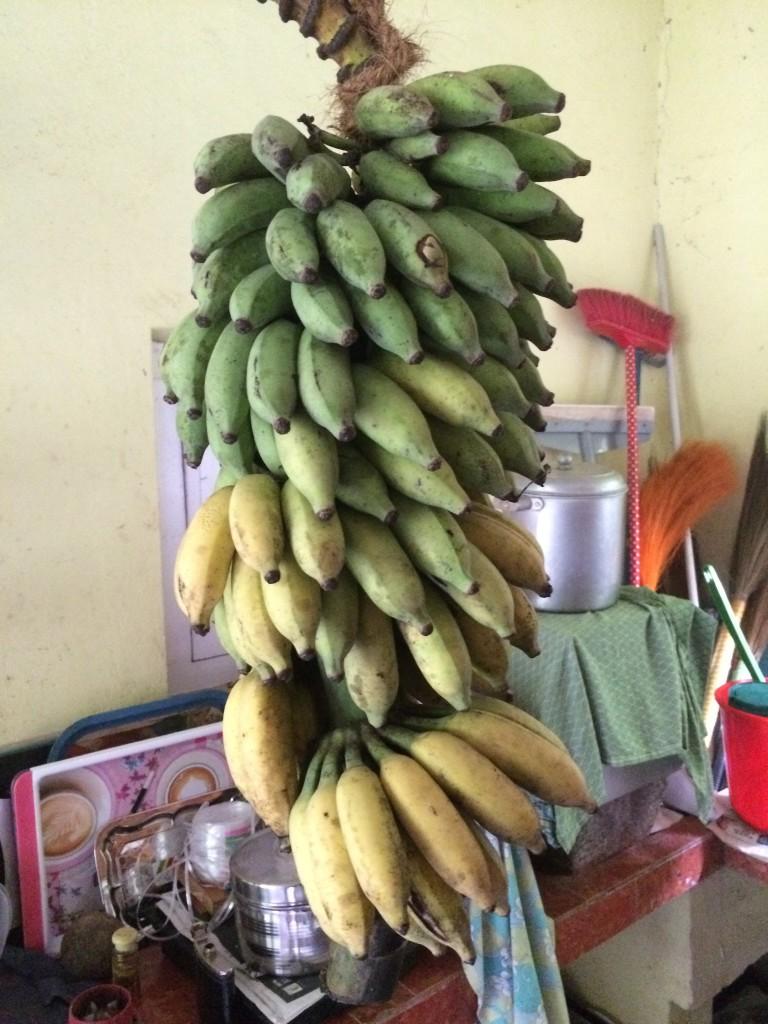 Nenechte se mýlit. Banány se vždycky trhají ještě zelené a nechávají se několik dnů dozrát zavěšené doma (nebo v letadle/lodi při cestě do Evropy)
